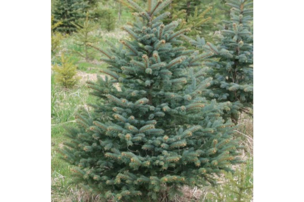 Prodej živých vánočních stromků
