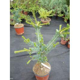 Borovice parviflora NEGISHI
