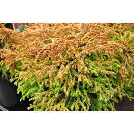 THUJA OCCIDENTALIS GOLDEN TUFFET 10cm