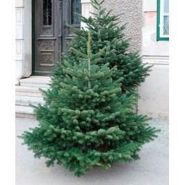 Vánoční stromek JEDLE KAVKAZSKA