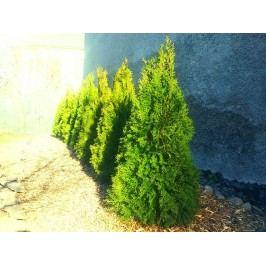 Thuje Smaragd 120-130cm