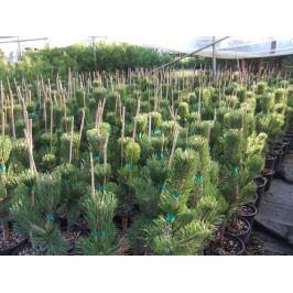 Borovice Černá(pinus nigra) 60-80cm 4L