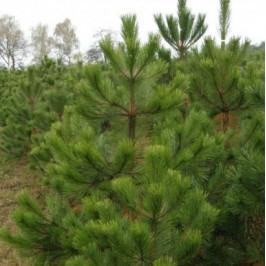 Borovice Černá jako živý vánoční stromek