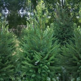Vysoký živý Vánoční stromek Smrk Ztepilý / 221 - 250 cm