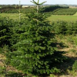 Živý, řezaný Vánoční stromek Jedle Kavkazská / do 120 cm