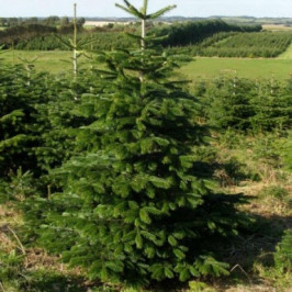 Vysoký živý Vánoční stromek Jedle Kavkazská / 161 - 180 cm