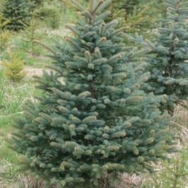 Malý řezaný živý vánoční stromeček Smrk