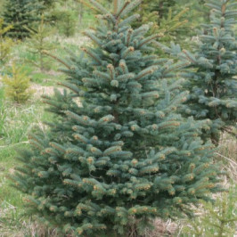 Vánoční živý stromeček Smrk