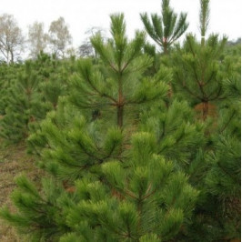 Řezaný Vánoční stromek Borovice Černá / 221 - 250 cm