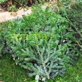 Řezaný živý Vánoční stromek Chvojí velké - JEDLOVÉ
