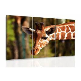 Obraz - Žirafa (150x100 cm) - InSmile ®