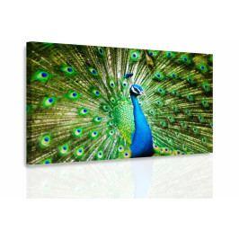 Obraz - Páv (90x60 cm) - InSmile ®