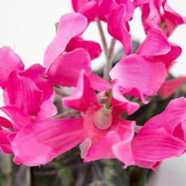 Brambořík hrnkový umělý růžový
