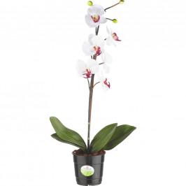 ORCHIDEJ orchidej - krémová, zelená