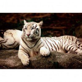 Puzzle Trefl Bengálský tygr 26075 1500 dílků