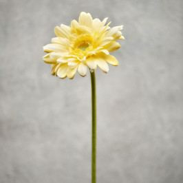 FLORISTA Gerbera - žlutá