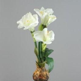 Amarylis creme 50cm