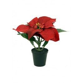 Vánoční hvězda červená, 1květ.