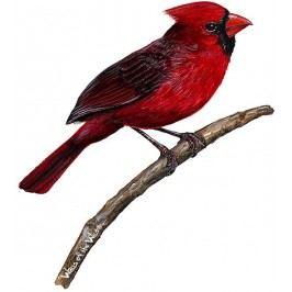 Samolepky - obrázky ptáci : Samolepící dekorace  Kardinál