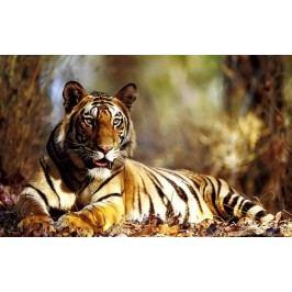 Ležící tygr (60 x 37 cm) -  Plakát
