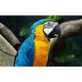 Papoušek (60 x 37 cm) -  Plakát na zeď