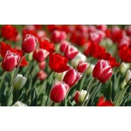 Pole tulipánů (60 x 37 cm) -  Plakát na zeď