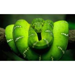 Zelený had (60 x 37 cm) -  Plakát na zeď