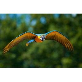 Letící papoušek (60 x 40 cm) -  Plakát na zeď