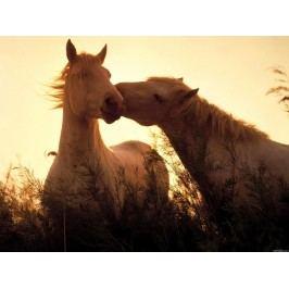 Pár koní (60 x 45 cm) -  Plakát na zeď