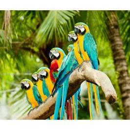 Papoušci (60 x 50 cm) -  Plakát