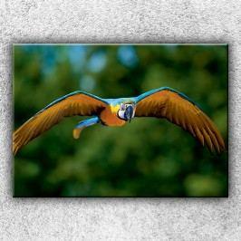Letící papoušek Ara 2 (70 x 50 cm) -  Jednodílný obraz